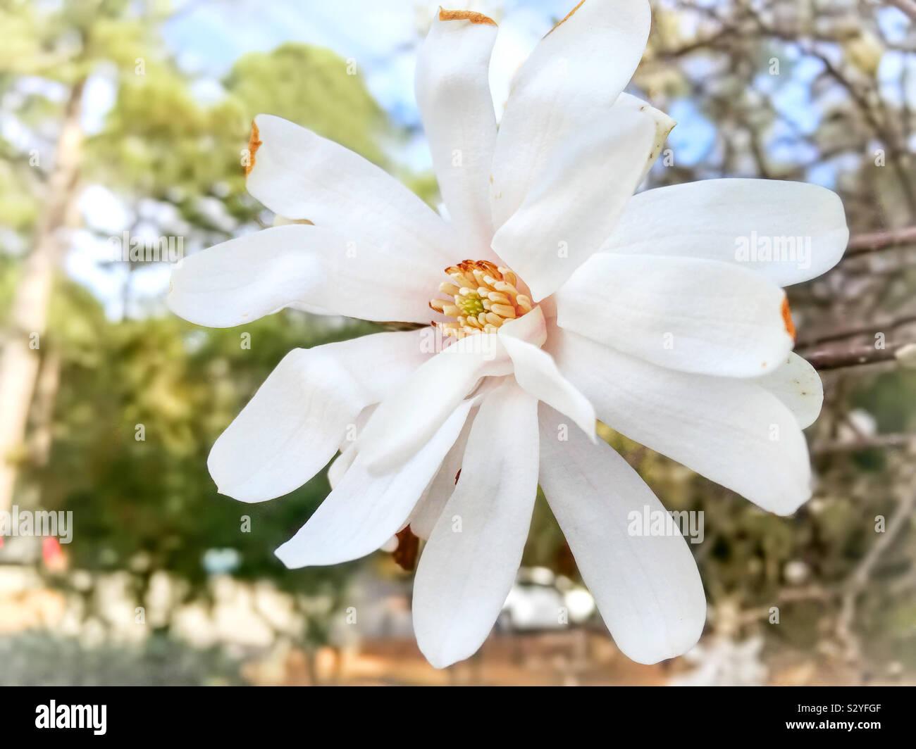 Una chiusura mostra tutti gli splendidi dettagli naturali di un bianco stella colorata Magnolia sbocciare dei fiori. Messa a fuoco selettiva in primo piano. Foto Stock