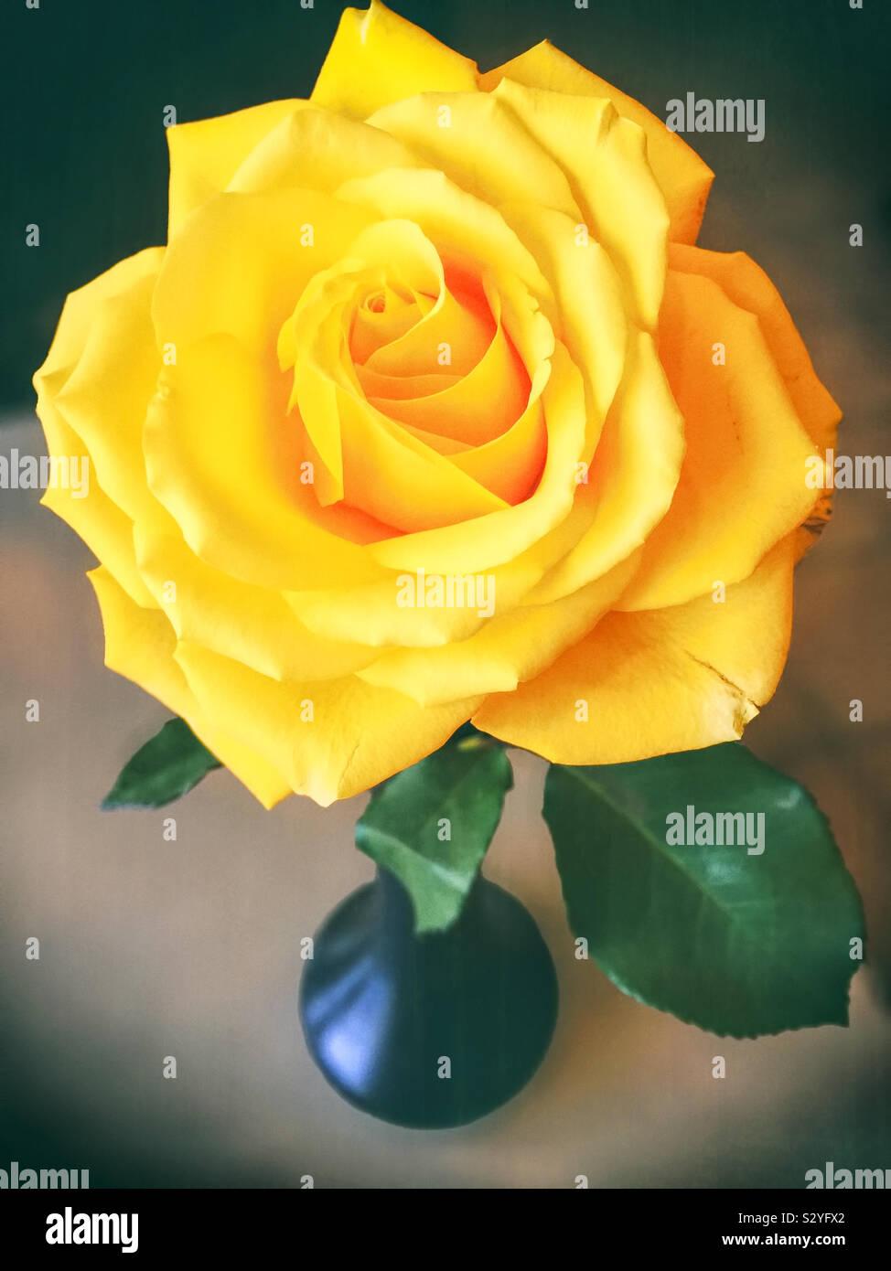 Una rosa gialla in un vaso di fiori. La messa a fuoco in primo piano e il fiore di testa. Foto Stock
