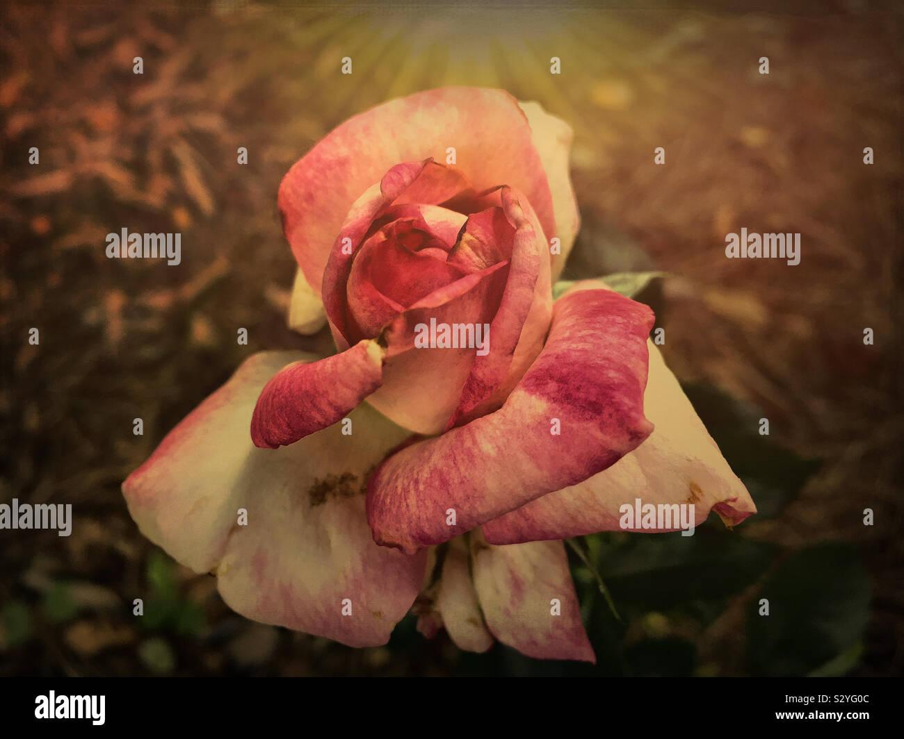 Uno scuro effetto testurizzato rosa e bianco di fiori di rose che crescono in un giardino nel cortile. La messa a fuoco in primo piano e il fiore di testa. Foto Stock