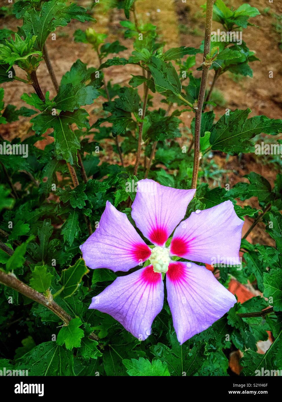 Uno viola colore rosa di Sharon sbocciare dei fiori in piena fioritura. Questo impianto non è una rosa ma è nella famiglia di hibiscus. Foto Stock