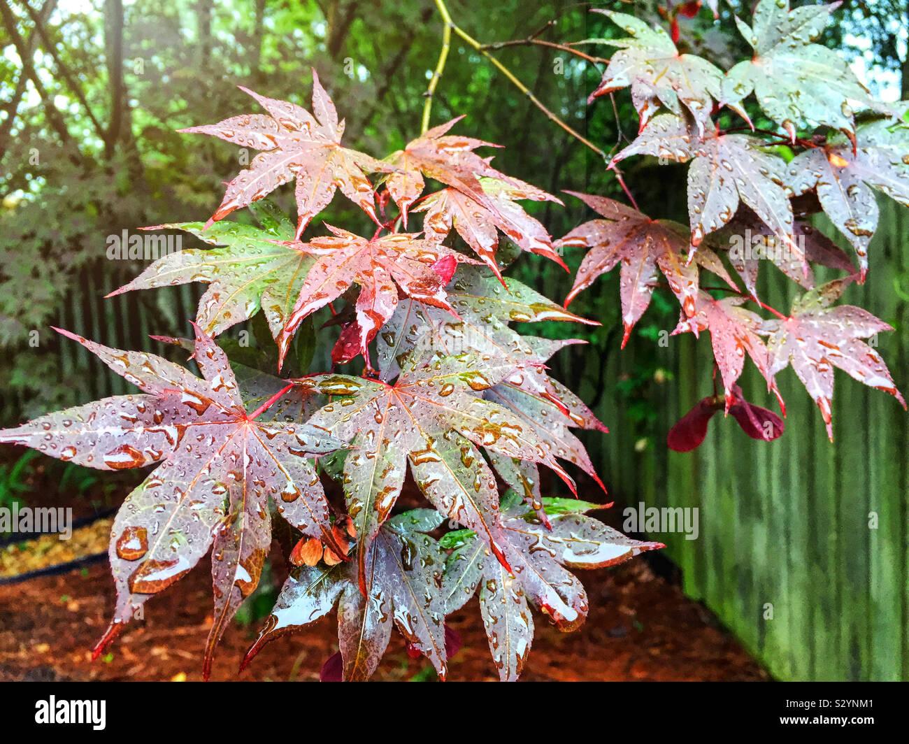 Colorate di rosso e verde foglie di acero durante la stagione estiva. Essi sono coperti con le gocce di pioggia. Foto Stock