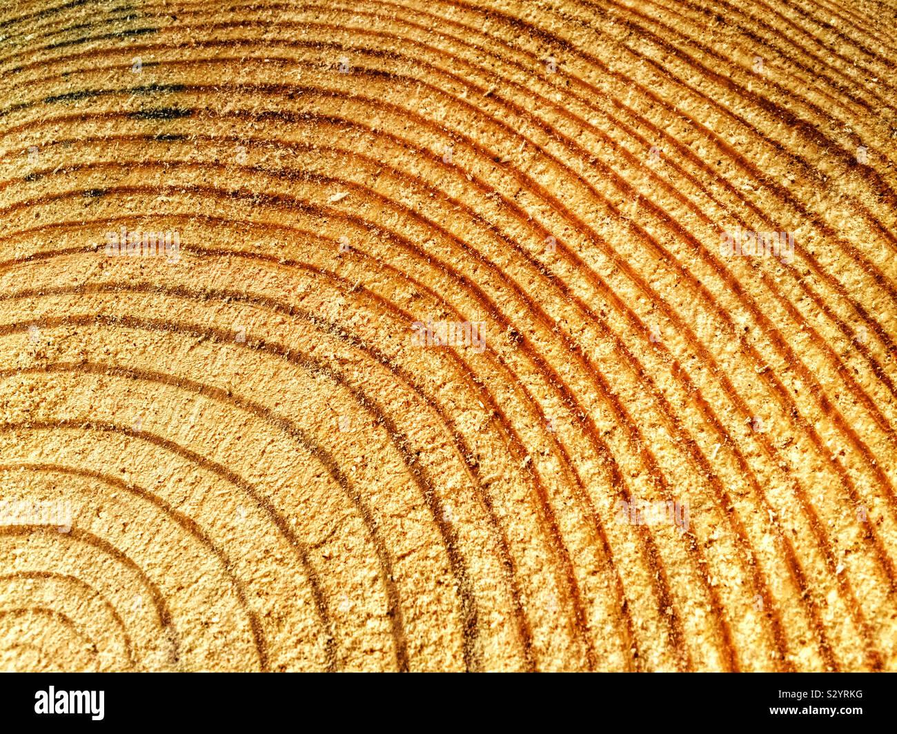 Un albero di pino è stata tagliata e gli anelli di accrescimento mostra quanto è vecchio se è possibile contare il numero di anelli concentrici. Foto Stock