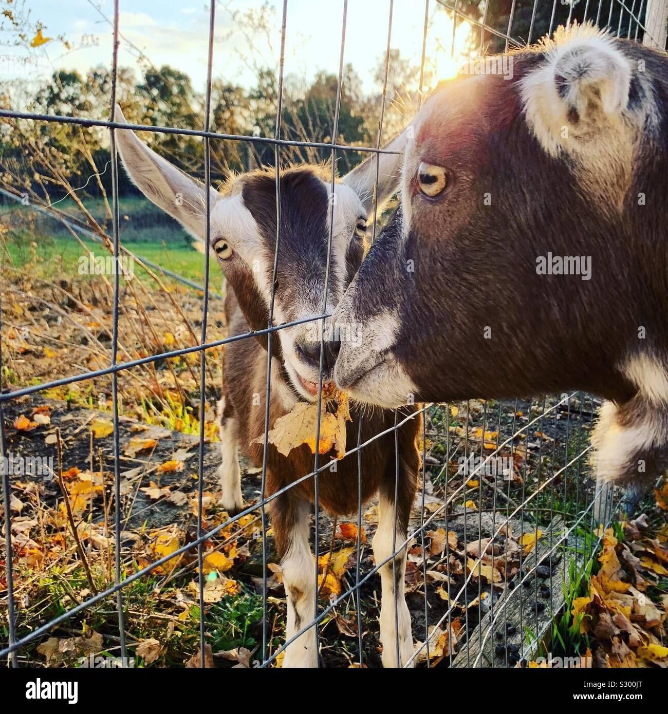 Due capre Foto Stock