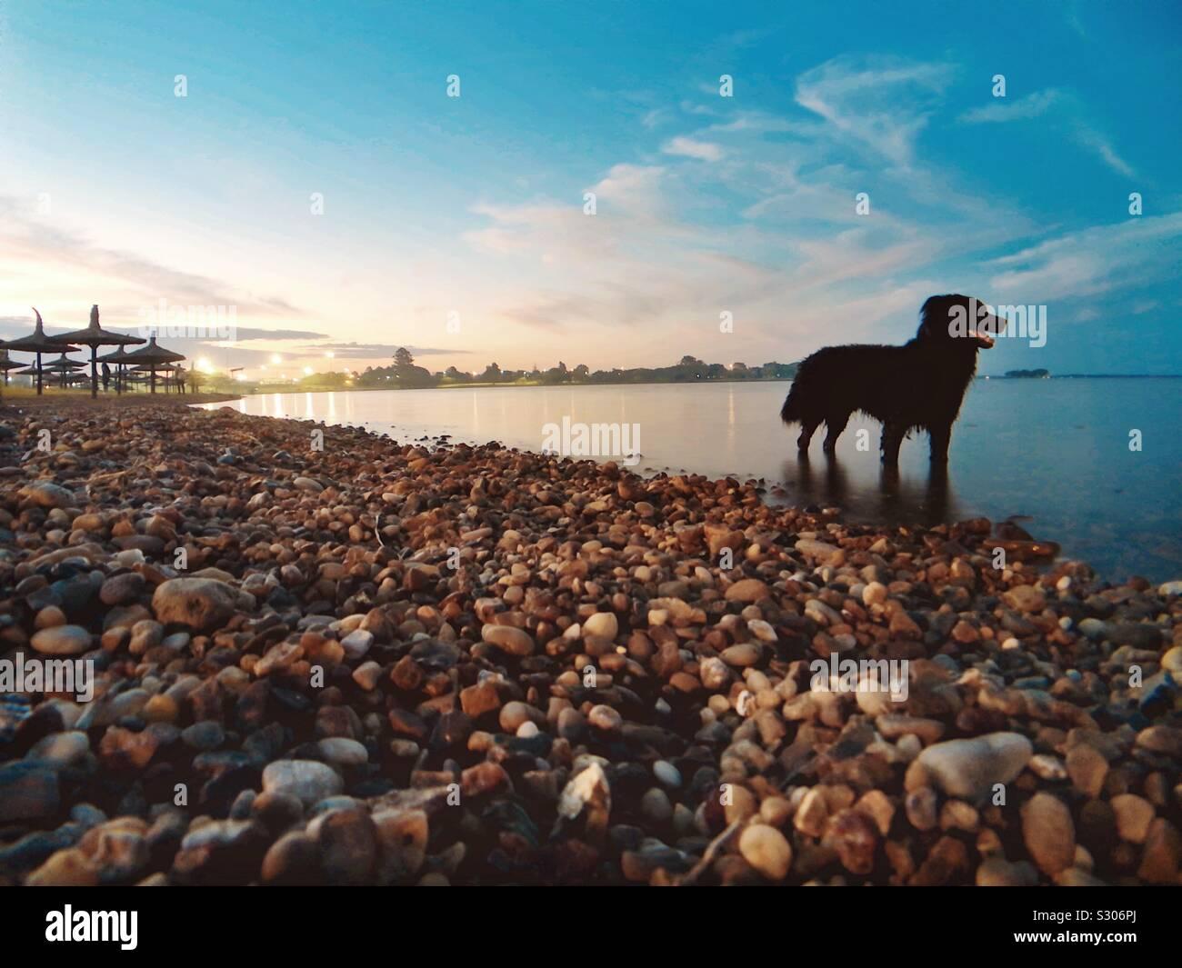 Un cane giocando fetch sulla spiaggia Foto Stock