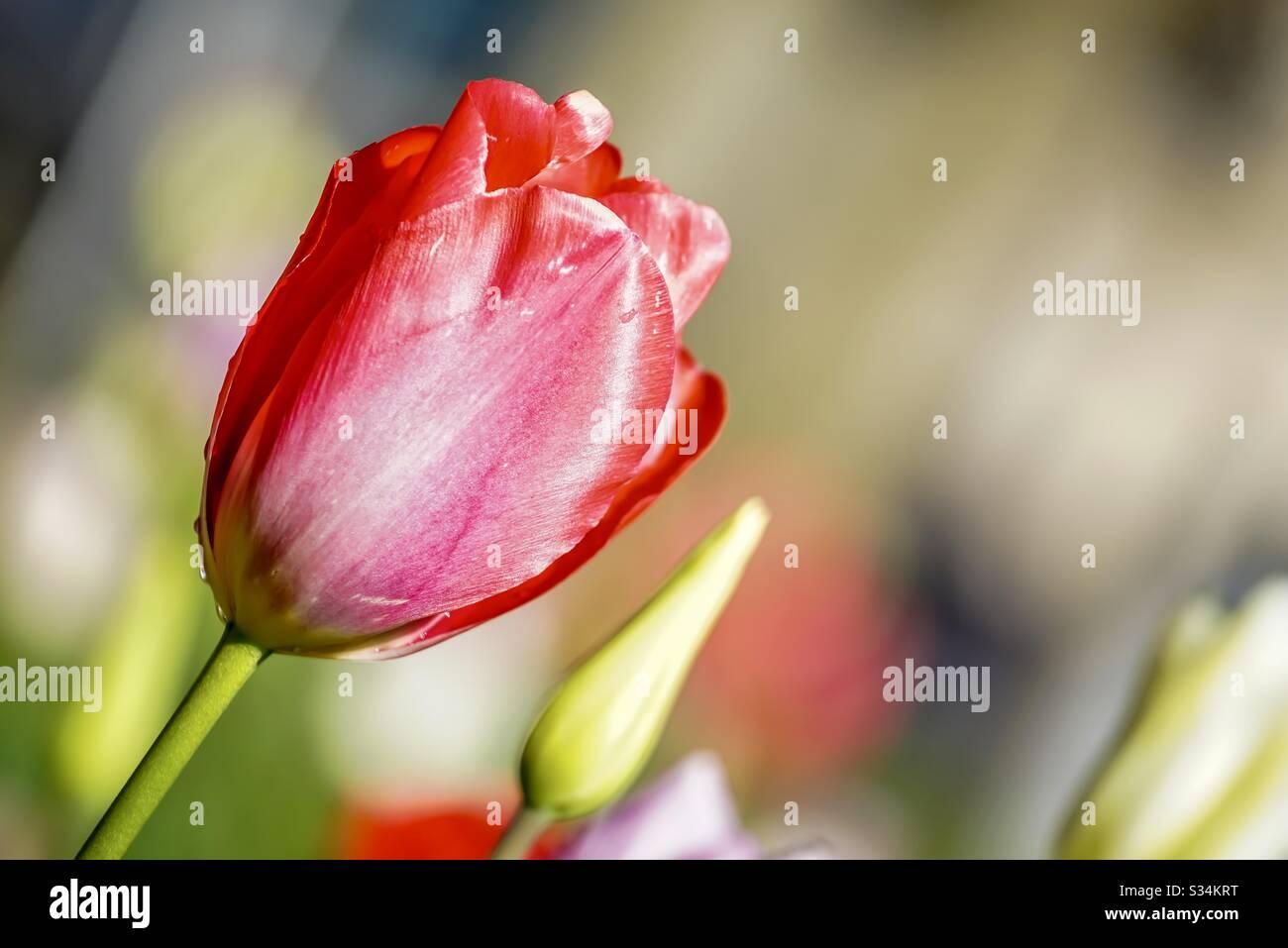 Tulipano rosso con gocce d'acqua Foto Stock