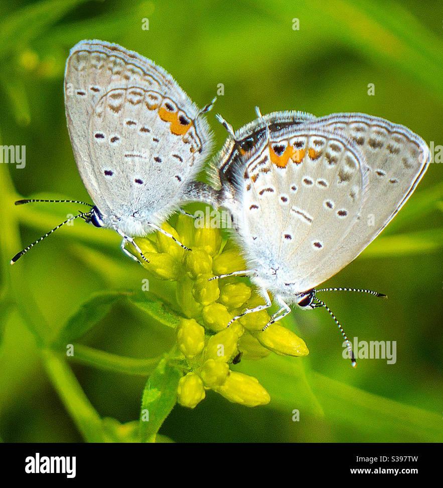 Coppia di farfalle blu dalla coda orientale Foto Stock