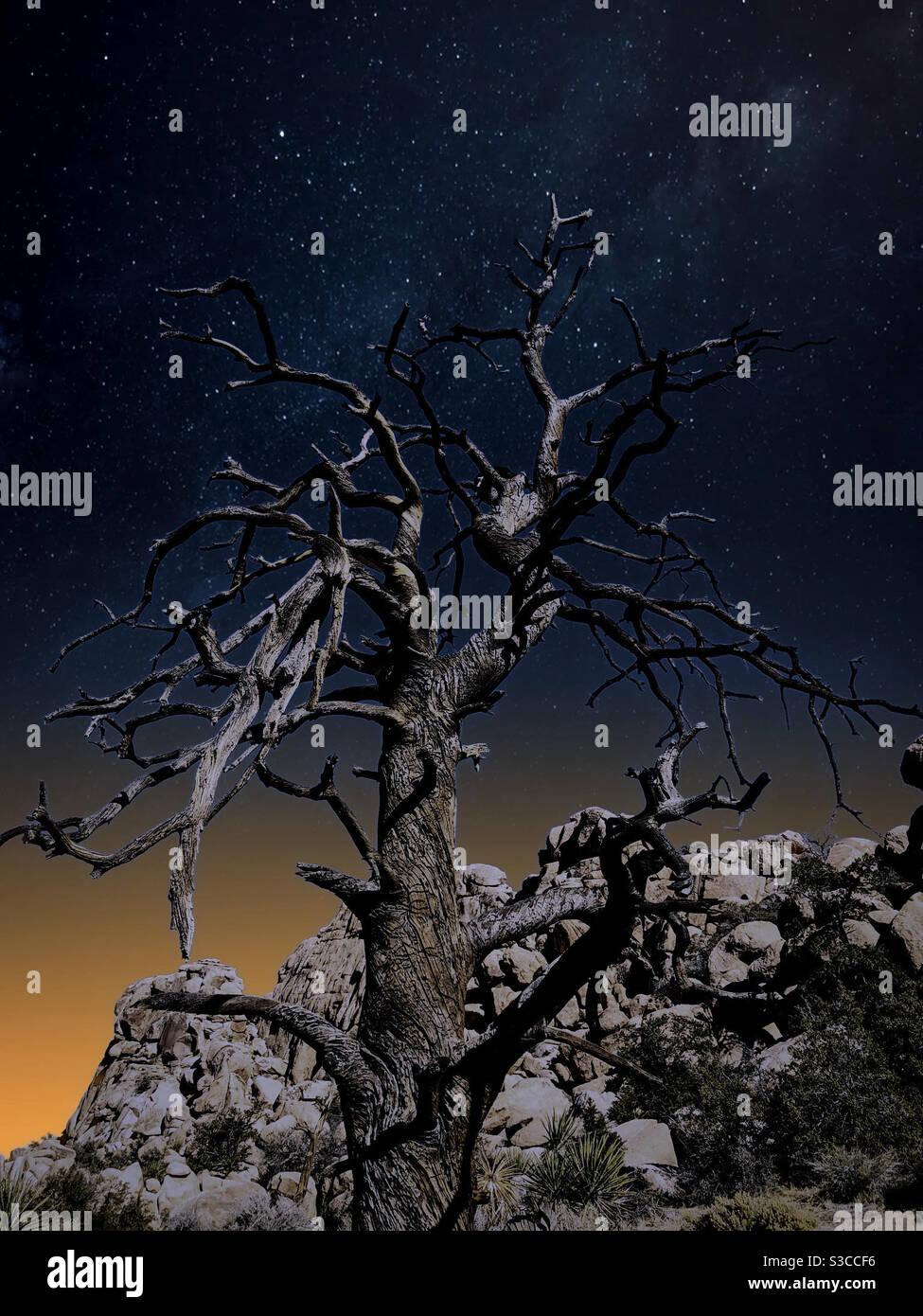 L'albero asciugato guarda al cielo stellato in giosuè parco nazionale degli alberi Foto Stock