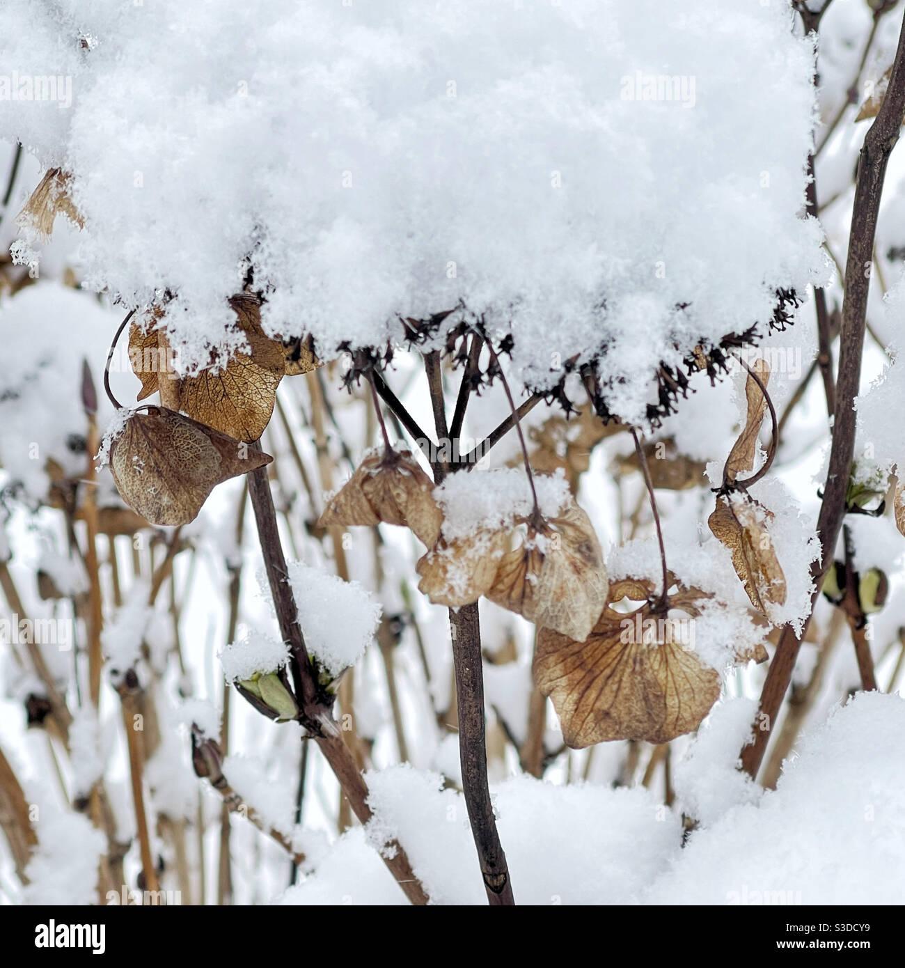Idrangee secche sotto la neve Foto Stock