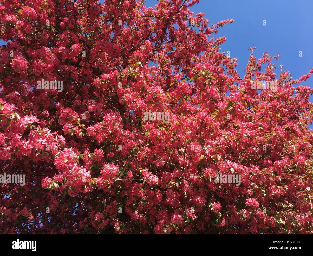 Albero di fiori rosa profondo contro cielo blu chiaro Foto Stock