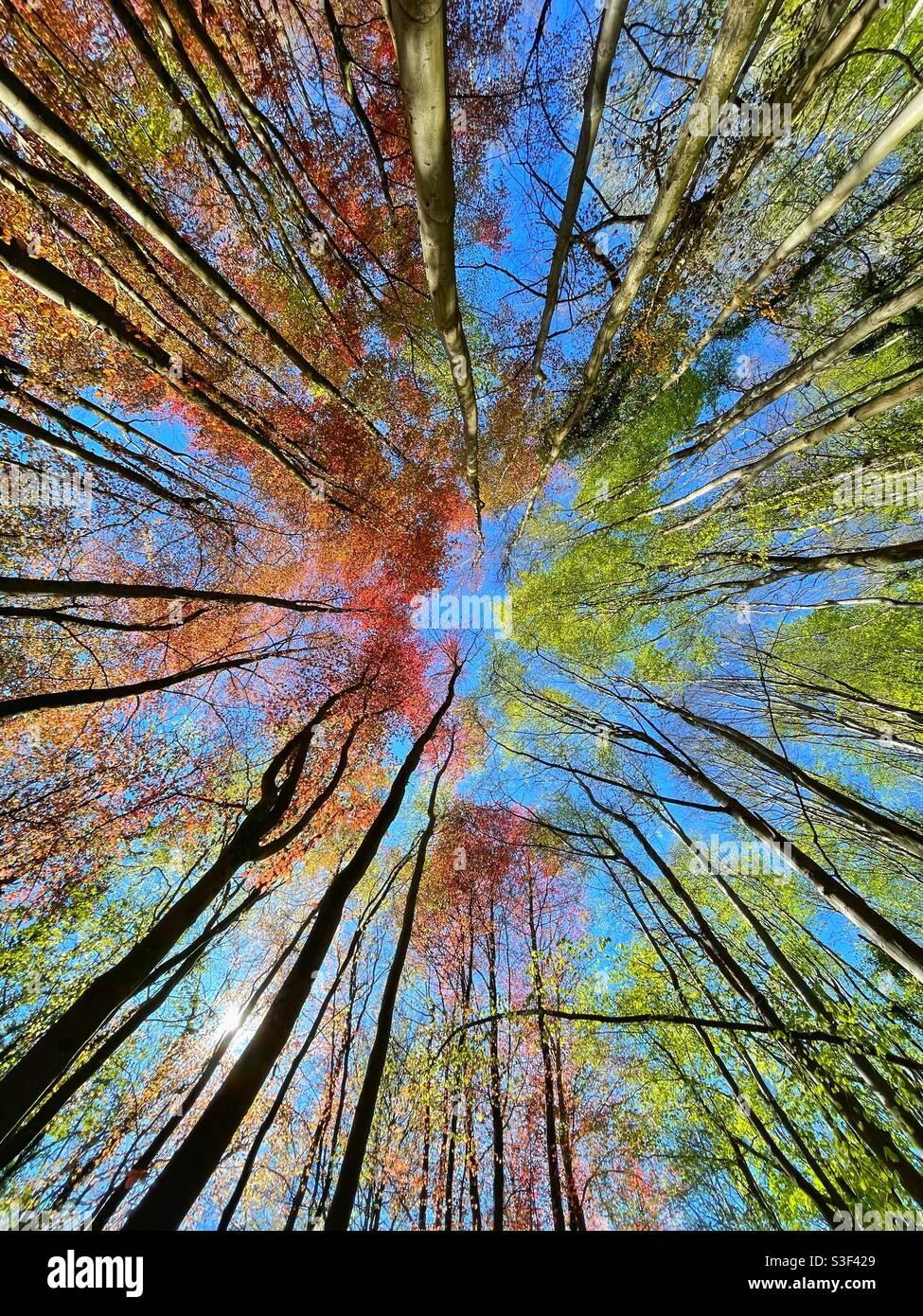 Freschi faggi verdi e faggi di rame che raggiungono un cielo di primavera blu. Foto Stock