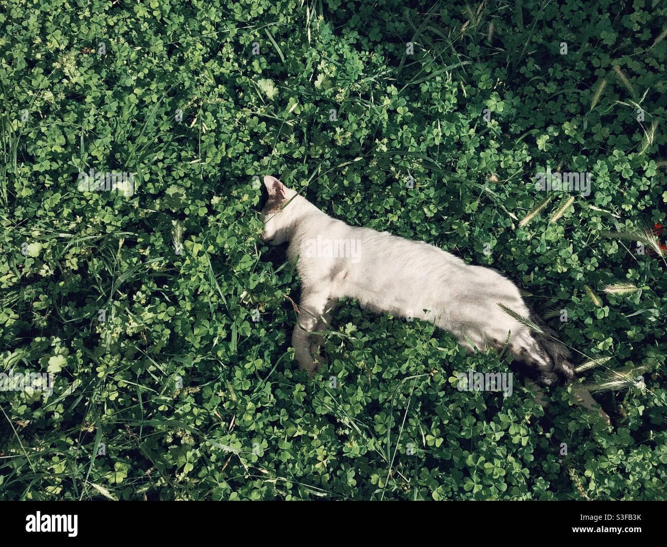 Gattino bianco che dorme tranquillamente tra verde lussureggiante Foto Stock
