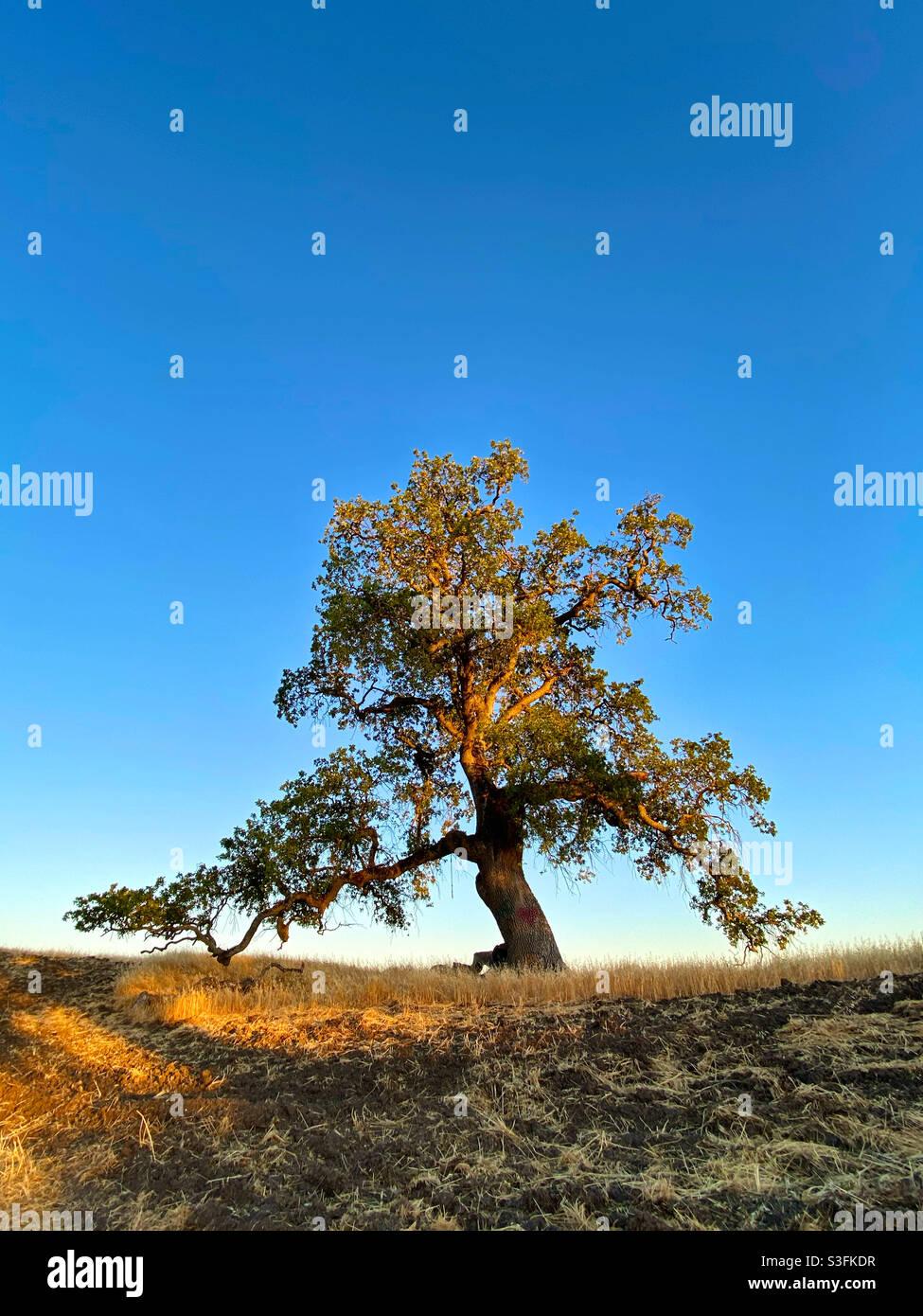 Un solo albero di quercia con cielo azzurro e limpido Foto Stock