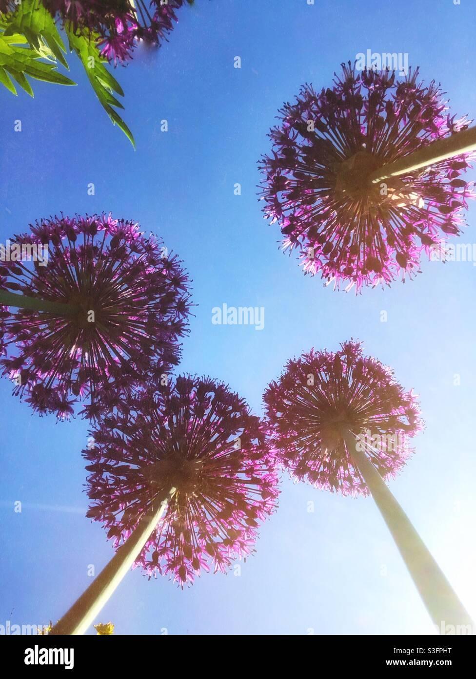 Guardando da sotto bellissimi fiori di allio a testa rotonda viola sotto un cielo blu con spazio per la copia Foto Stock