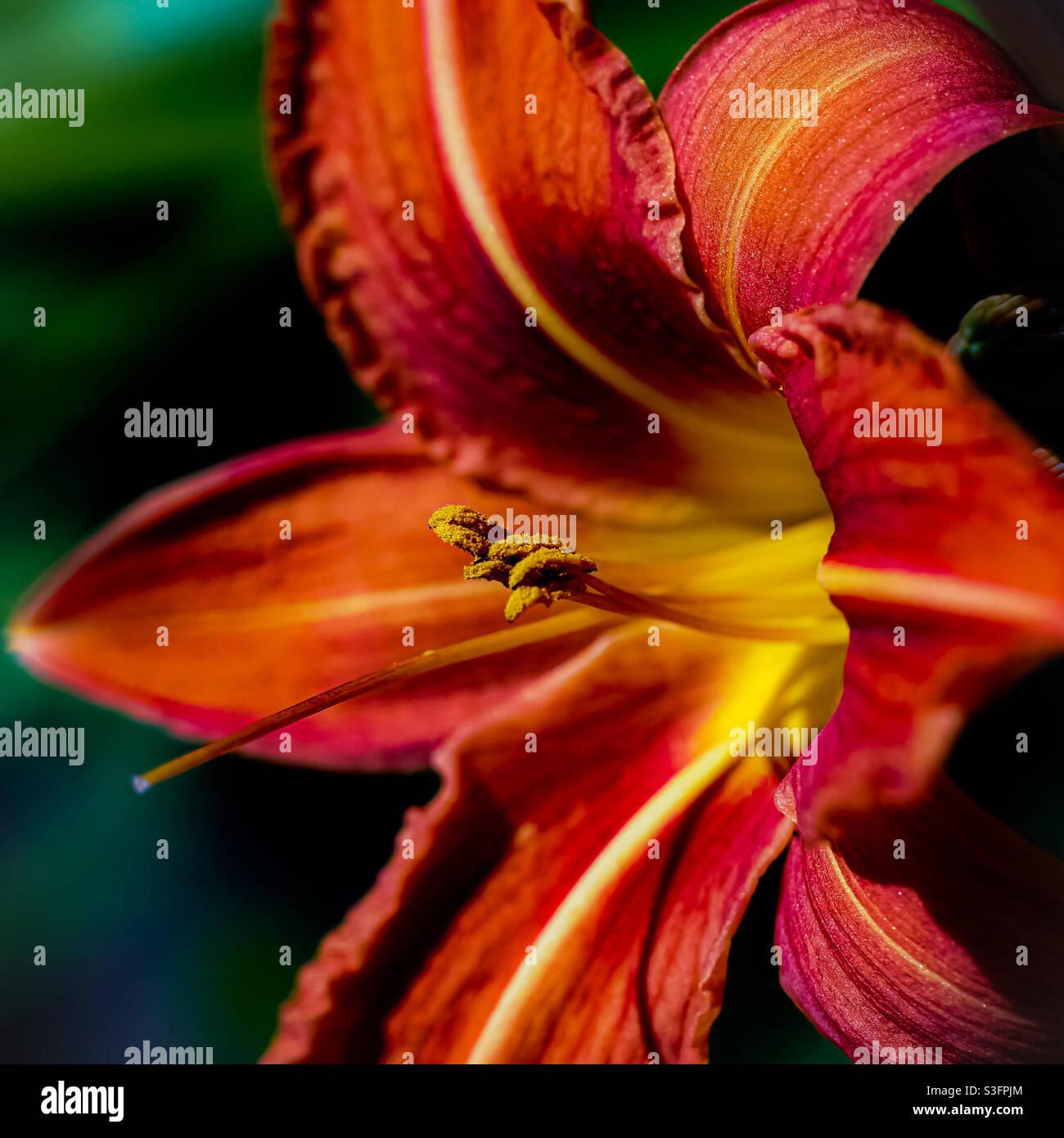 Il giglio della tigre nel suo primo colore della stagione a mezzogiorno nel parco con ricchi fronds testurizzati polline. Foto Stock