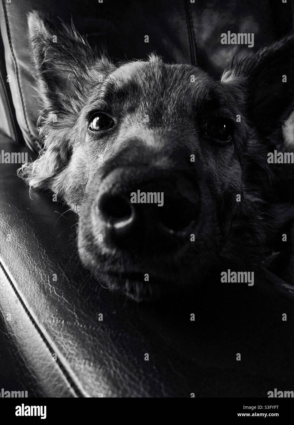 Un cane da lupo cucciolo Foto Stock
