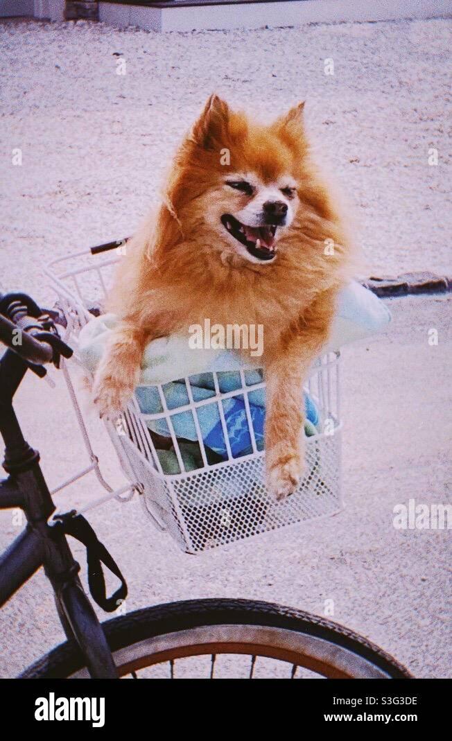 Felice cane Pomeraniano in cesto di bicicletta Foto Stock
