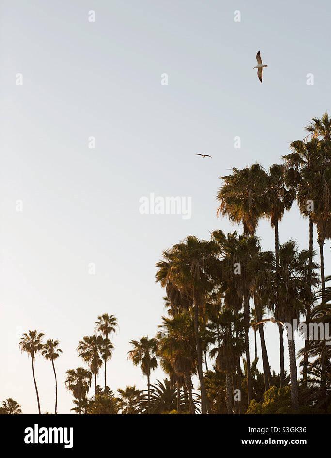 Alberi di palma e al tramonto Foto Stock