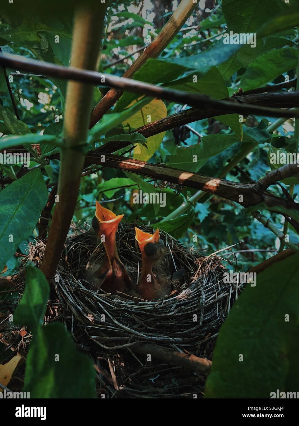 Nuova vita, uccelli del bambino in un nido Foto Stock