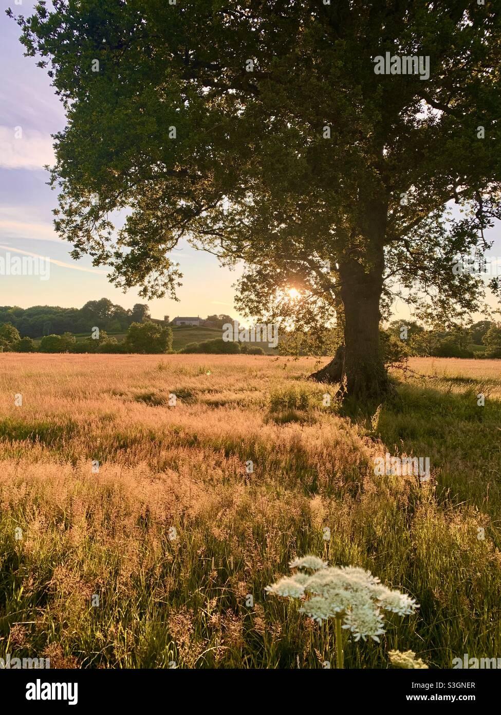 Riavvilimento. Le erbe hanno permesso di crescere selvatiche in prato nel Somerset. Foto Stock
