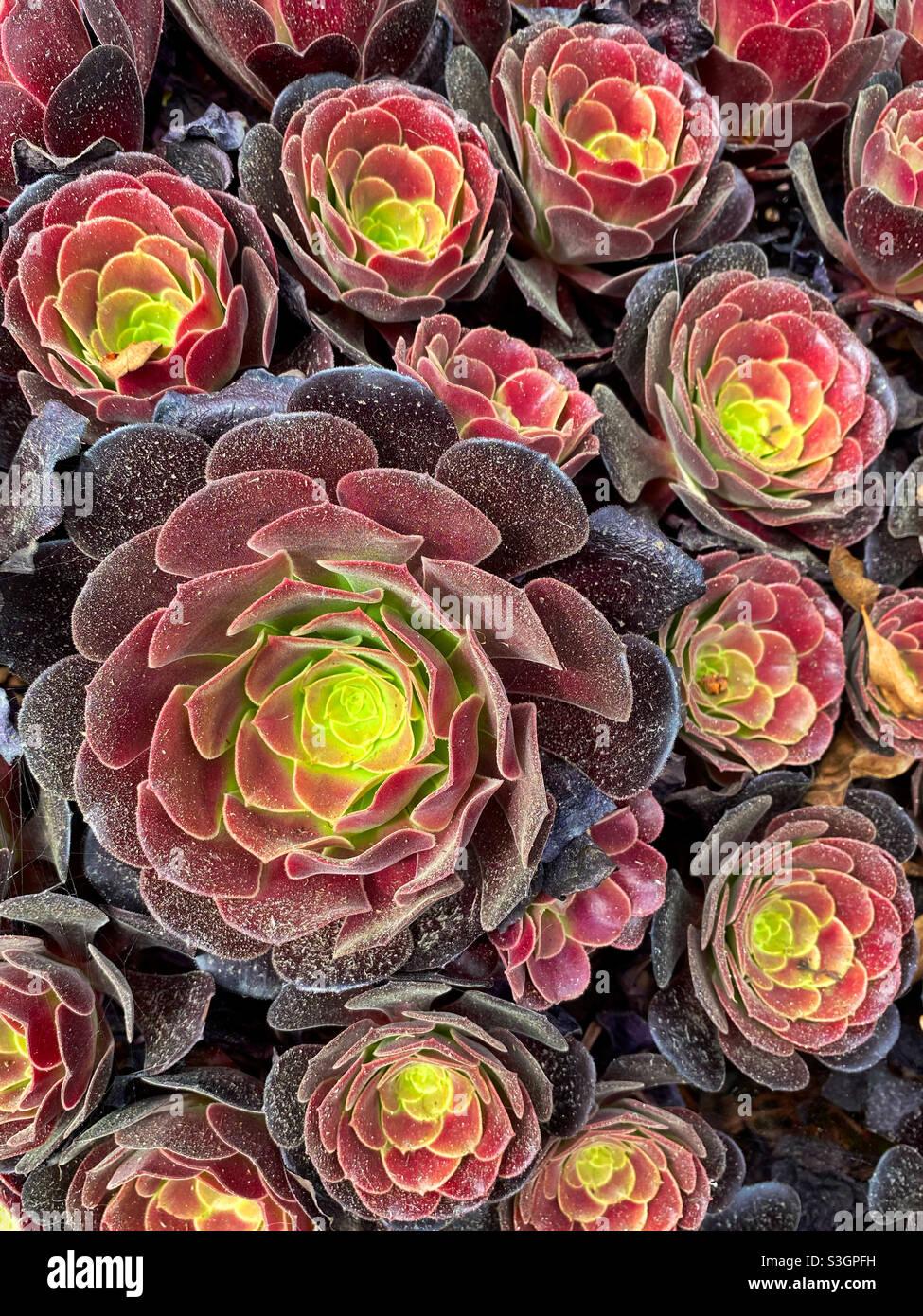 I succulenti di Aeonio prosperano in una pentola in California Foto Stock