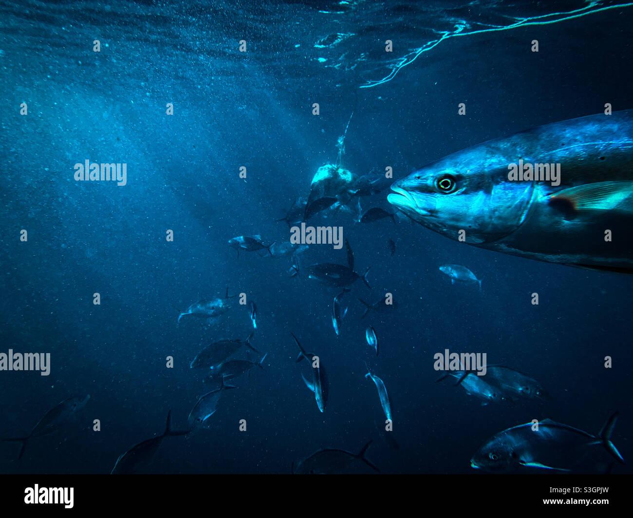 Sotto l'acqua immagine del pesce regale australiano a coda gialla Seriola lalandi e argento Trevally Pseudocaranx georgianus nuotare insieme intorno ad un'esca in acque profonde Foto Stock
