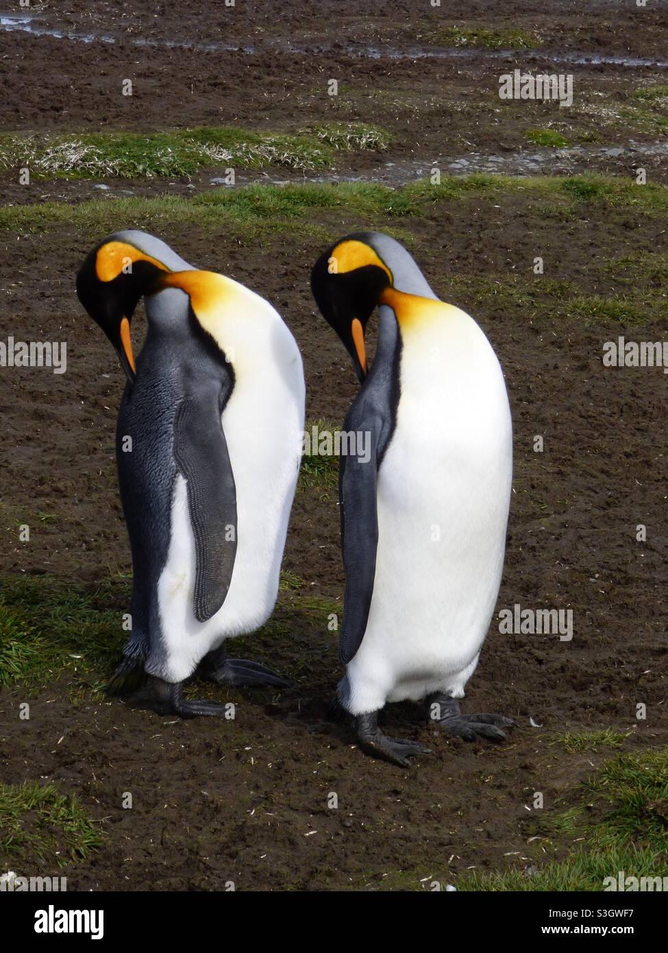 Pinguini sincronizzati Foto Stock