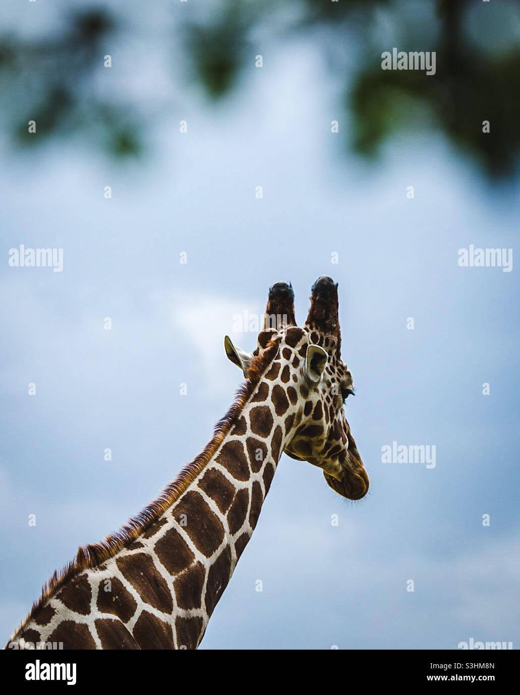 Giraffa Foto Stock