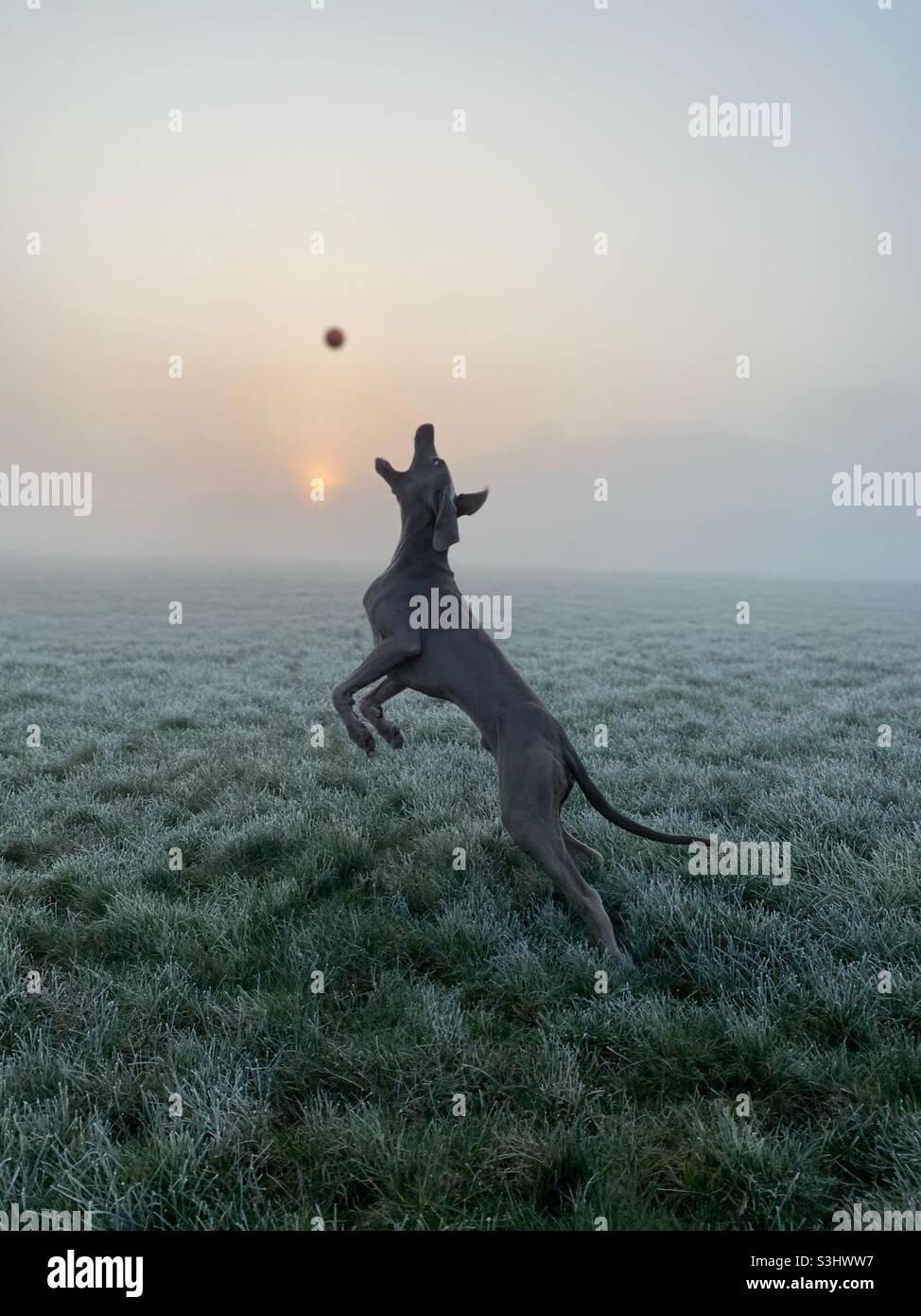 Salta Weimaraner nella nebbia Foto Stock