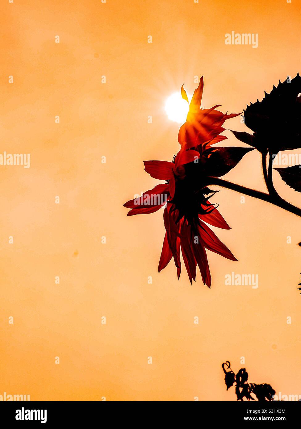Sole attraverso i girasoli al mattino. Foto Stock