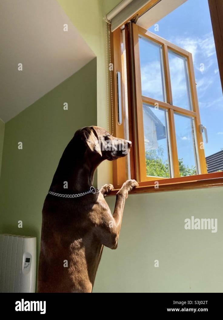 Cane che guarda attraverso la finestra aperta Foto Stock