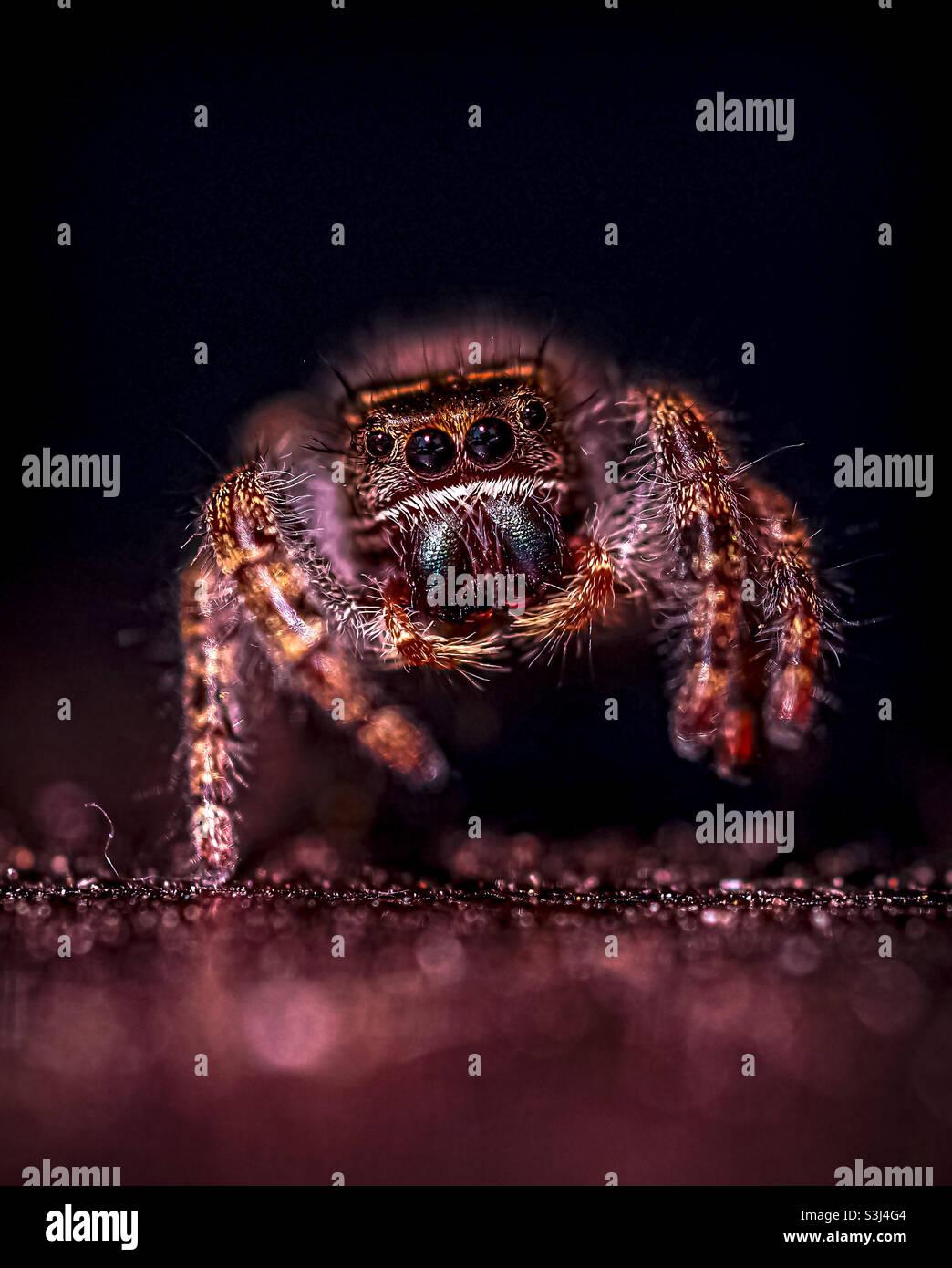 Spider balsassante che salta intorno a mezzogiorno dopo che ha cenato in una mosca comune. Foto Stock