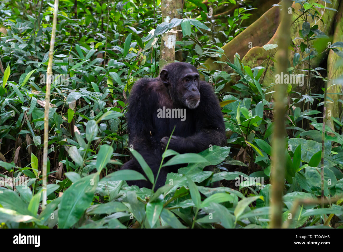 Scimpanzé comune (Pan troglodytes) nella foresta di Kibale National Park, Sud ovest dell Uganda, Africa orientale Immagini Stock