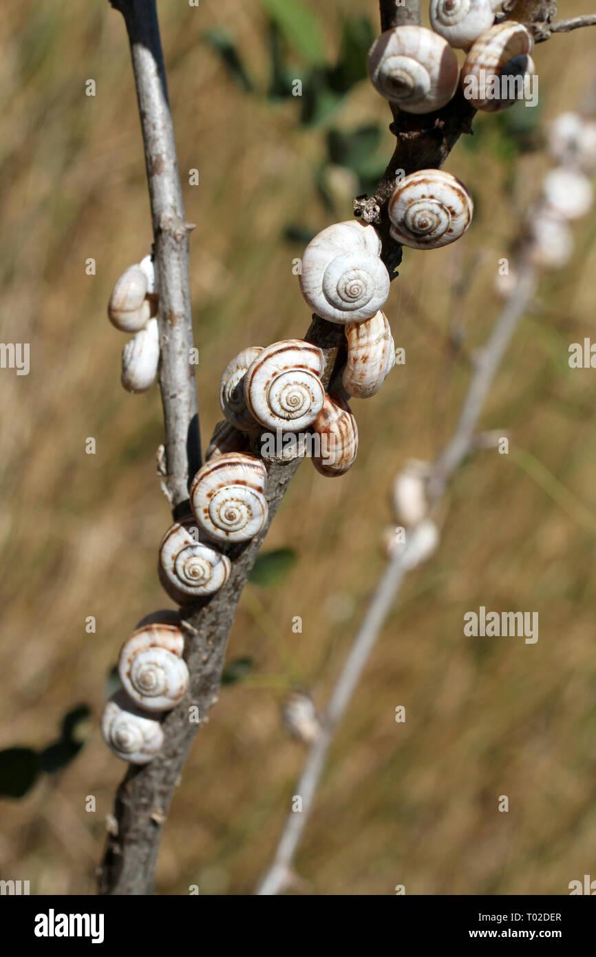 Piccole lumache attaccato ai gambi secchi contro lo sfondo di erba secca Immagini Stock