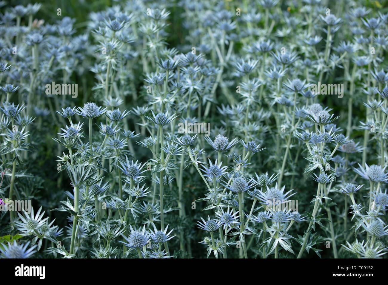 Piante Per Aiuole Perenni eryngium bourgatii sono blu fioritura estiva di piante