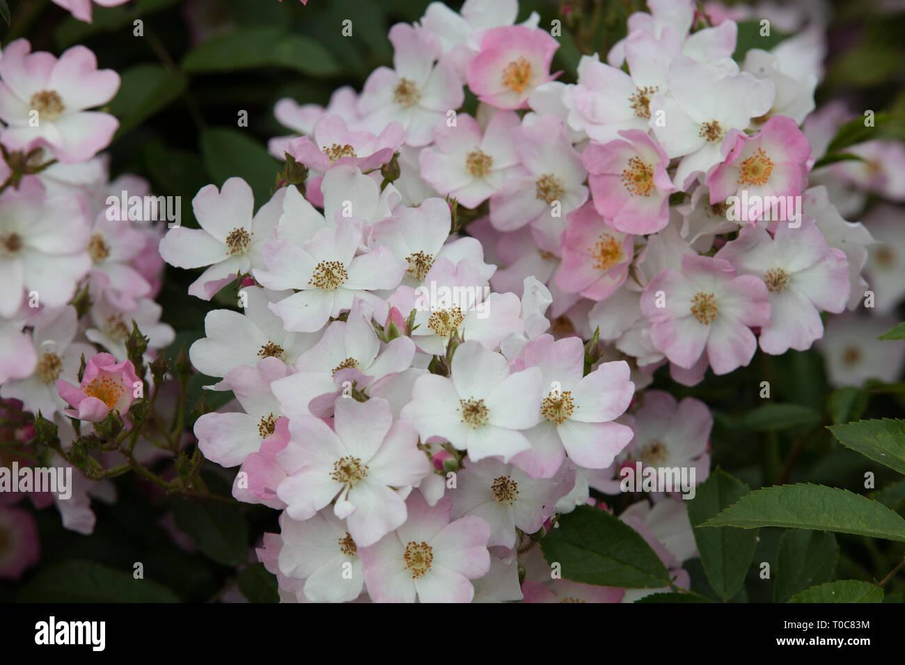 Fiori Bianchi Da Giardino.Rosa Ballerina E Un Piccolo Arbusto Da Giardino Con Abbondanti