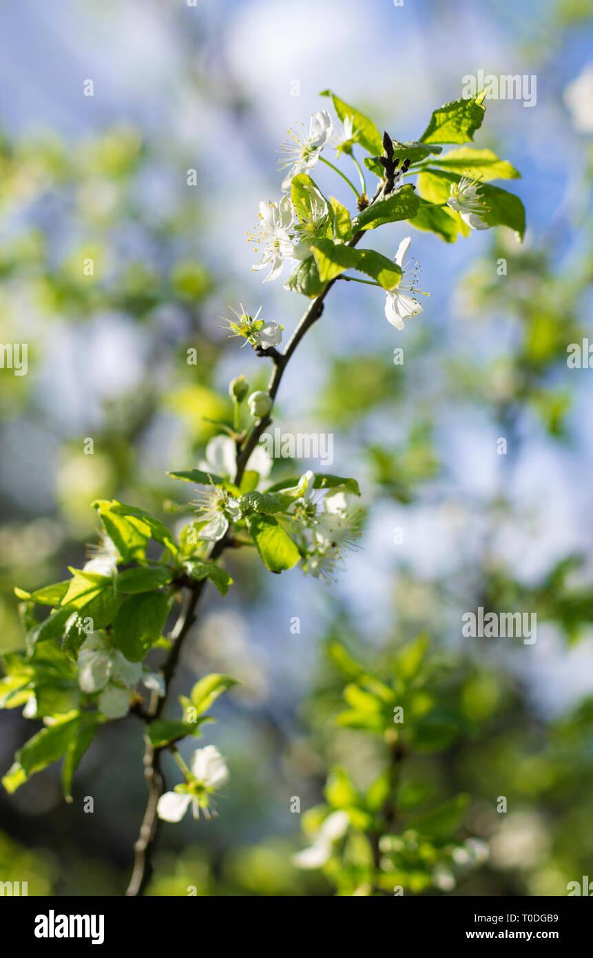 Albero Con Fiori Bianchi apple ramo di albero con fiori bianchi e foglie verdi su uno