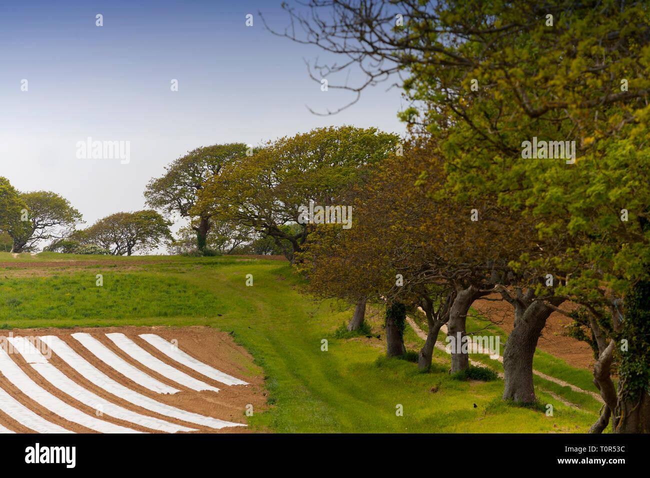 La linea,di quercia, alberi a fianco,campo,coperto,a,plastica,agriturismo,terra,crop,l'agricoltura,coltivata,l'ecologia,uccelli,nidificazione,nest,habitat,foglie,rami,Isle of Immagini Stock
