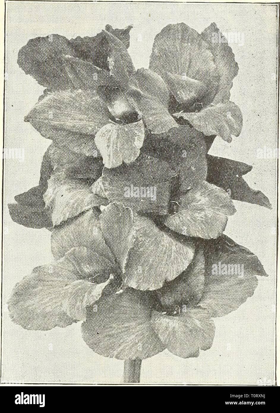 Dreer's garden prenota 1904 Dreer's garden prenota : 1904 dreersgardenbook1904henr Anno: 1904 [WADRffiR -PHIIADELPHIAMmGARDEN^-OREENHOUSf PlAhU H i-i dieci nuovi CANNAS di meriti speciali. Di seguito sono riportate le iiUroductions del 1902 e 1903, e hanno avuto una prova accurata con noi. Abbiamo trovato tliem di meriti eccezionali e più desiderabile aggiunte a qualsiasi high-grade raccolta. Orand Duca Ludovico. I ricchi porpora di Carmine Di Marco- rali ; llowers molto grandi, petali frequentemente la misura 2j pollici attraverso ; ben arrotondati a capriate di immense dimensioni ; lavori bronzei di fogliame verde; 4^- piedi. .50 cts. Ogni; 15,00 per doz. Harry Immagini Stock