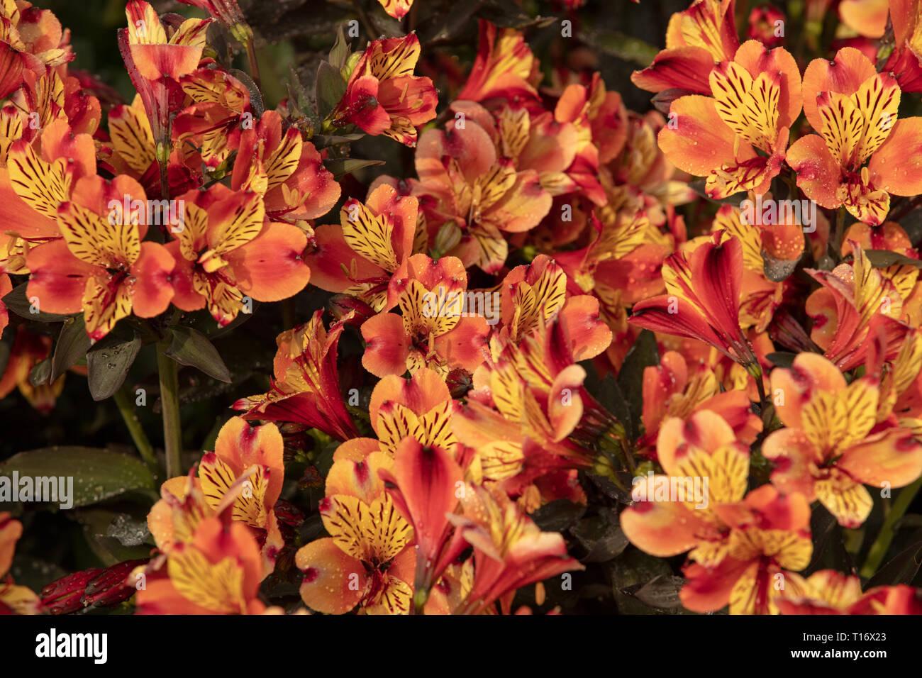 Alstroemeria Estate Indiana con arancio fiori gialli per la semina con altri perenni Piante da giardino o evergreens nei giardini. Immagini Stock