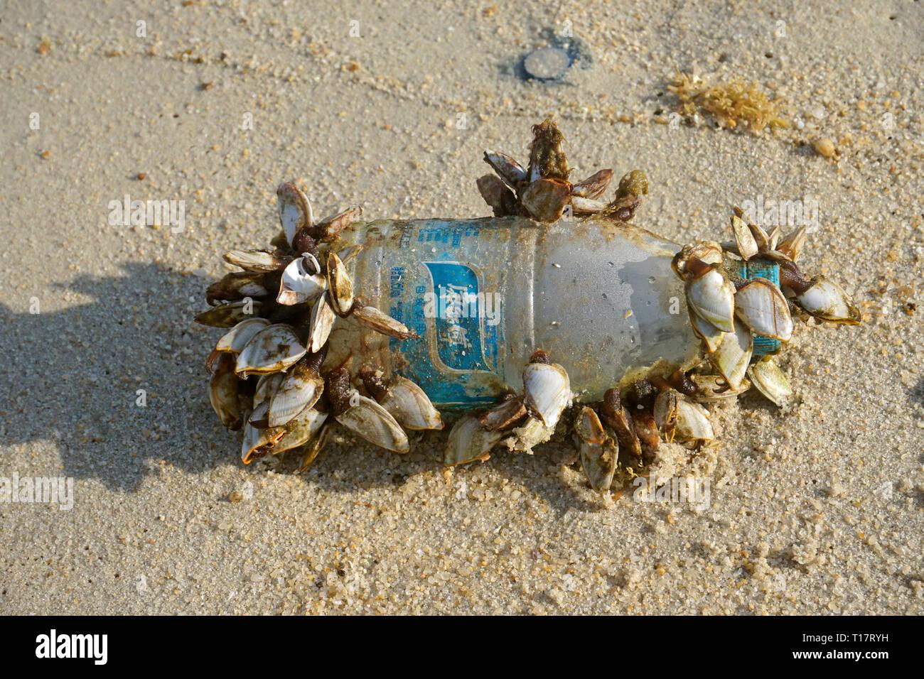 Goose cirripedi (Pedunculata) su una bottiglia di plastica, lavato fino a Lamai Beach, Koh Samui, Golfo di Thailandia, Tailandia Foto Stock