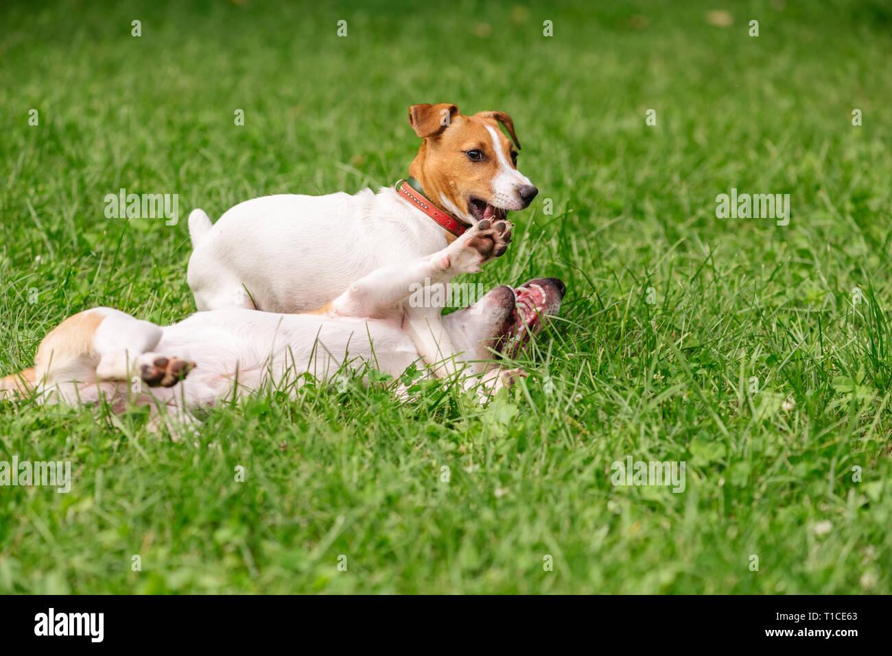 Cane zampa di sollevamento per il riscatto di wrestling in concorrenza con un altro cane Immagini Stock