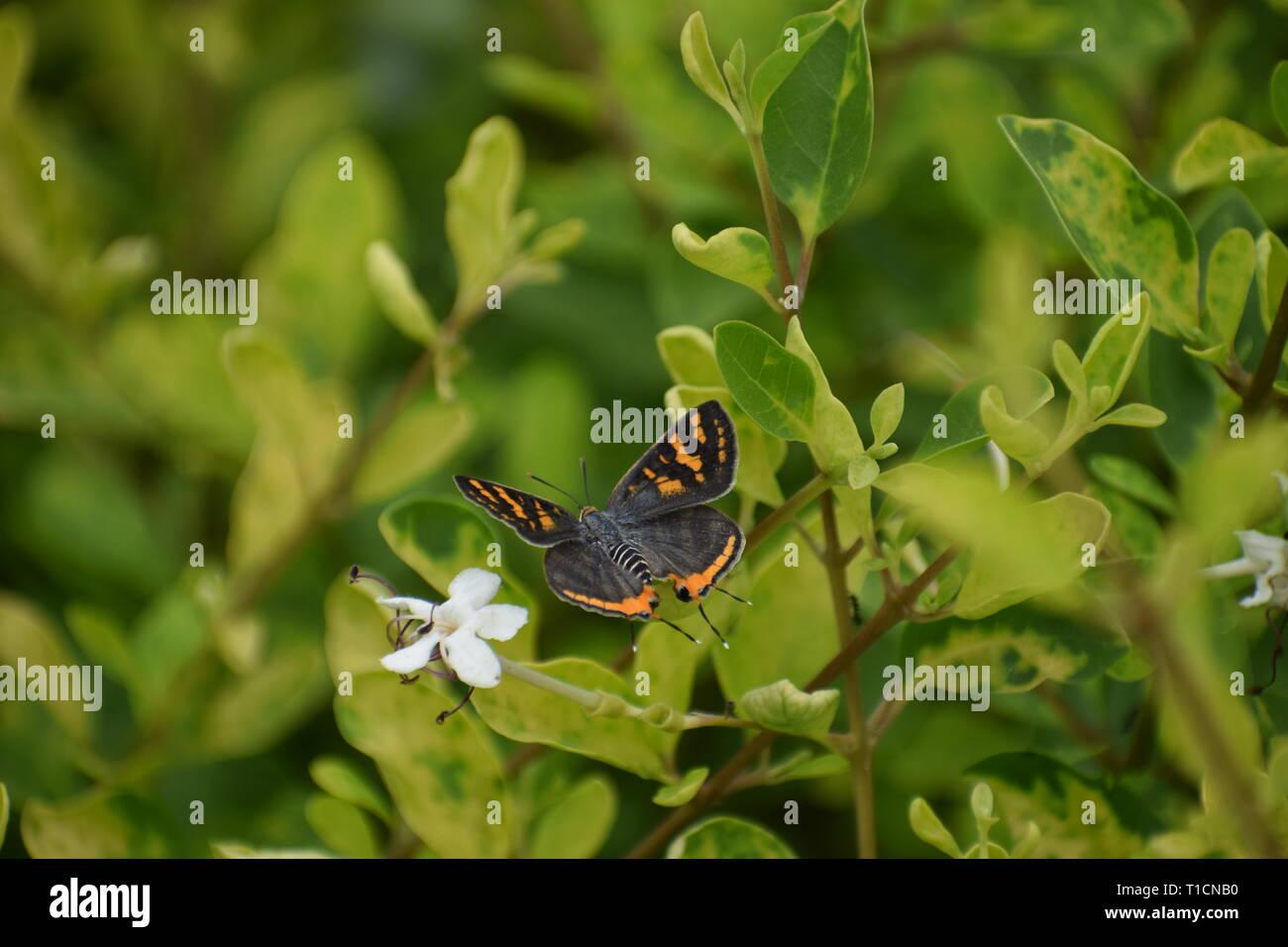 Arancio e nero butterfly flying attraverso foglie Immagini Stock