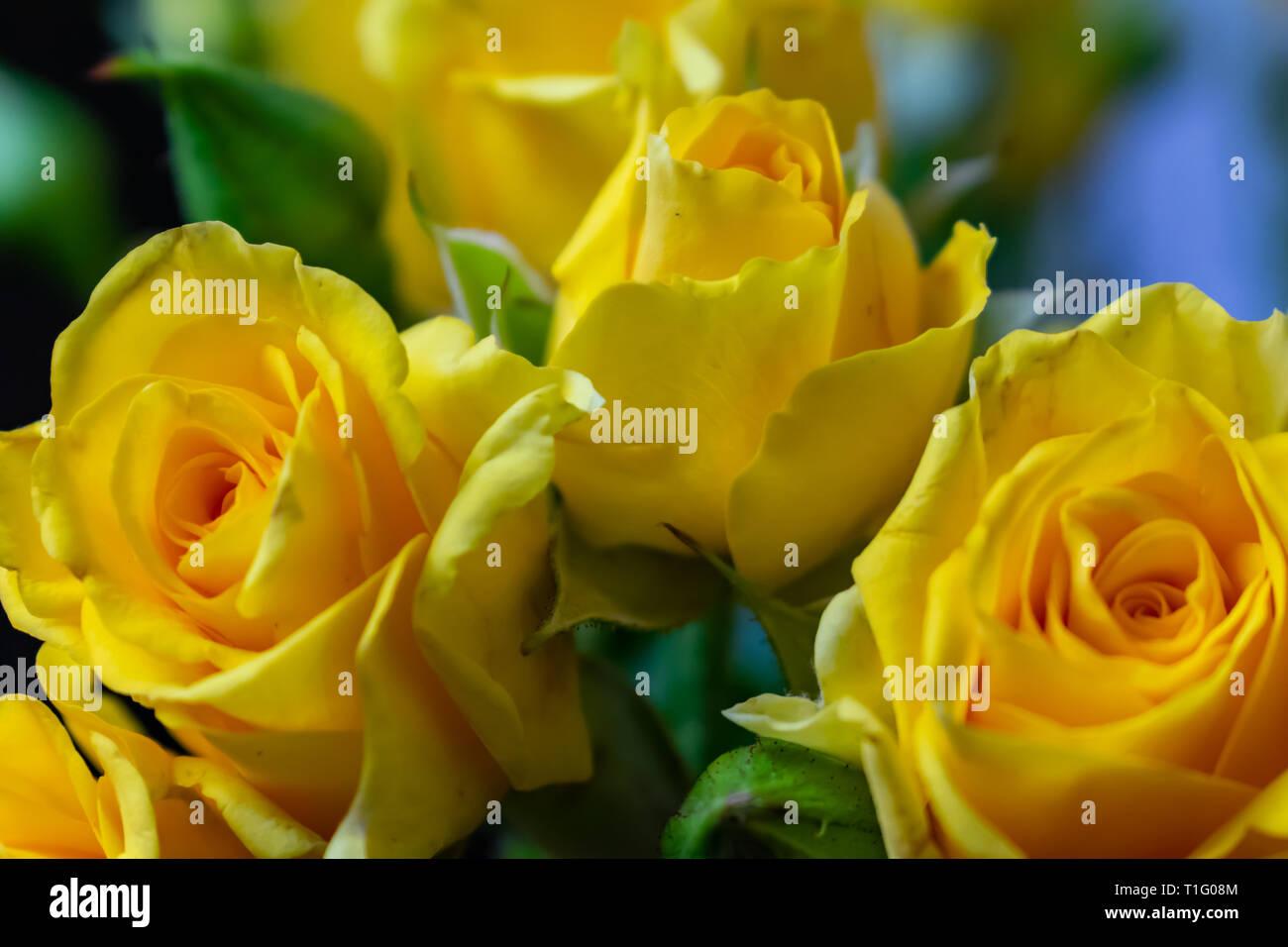 Fiori Gialli Rose.Fiori Giallo Rose Sfondo Texture Su Marzo 8 Foto Immagine Stock