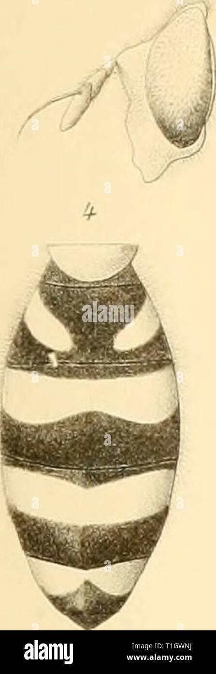 Ditteri del Messico (1892) Foto Stock