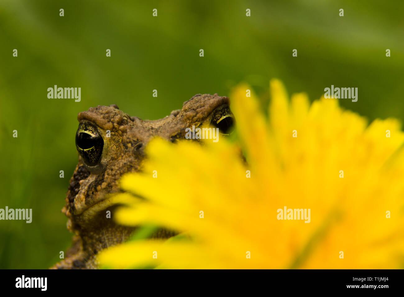 Toad che spuntavano da dietro un fiore di dente di leone Immagini Stock