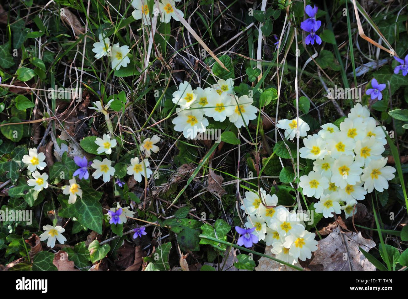 Giallo e viola fiori selvatici. Fiori Selvatici in un prato. Immagini Stock