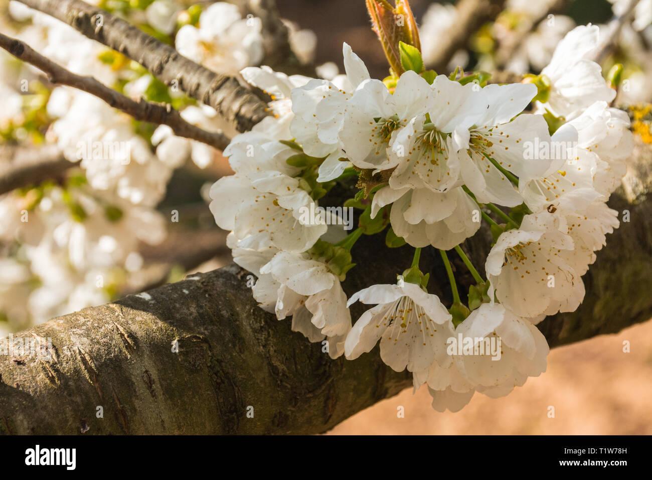 Foto Di Alberi Da Frutto fiori bianchi di alberi da frutto che crescono su di un ramo