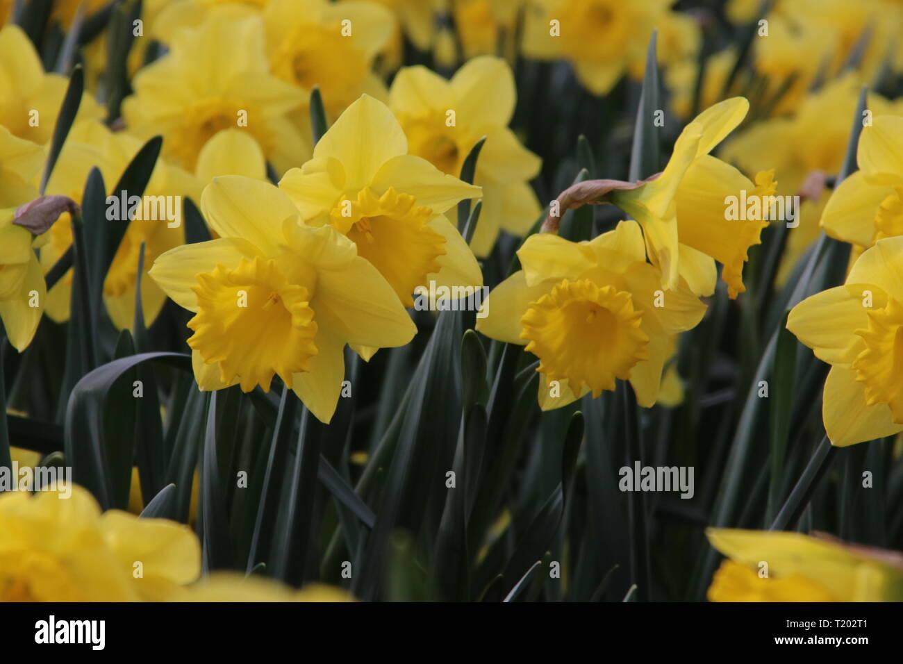 Fiori Gialli Simili Al Narciso.Fiori Gialli Di Nome Narciso O Daffodil In Erba Nel Parco Pubblico