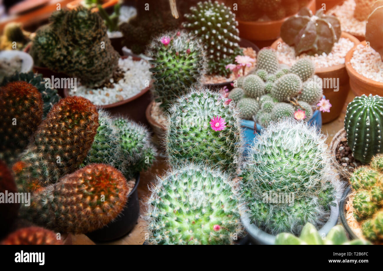Mini cactus in casa decorazione delle collezioni con la natura di