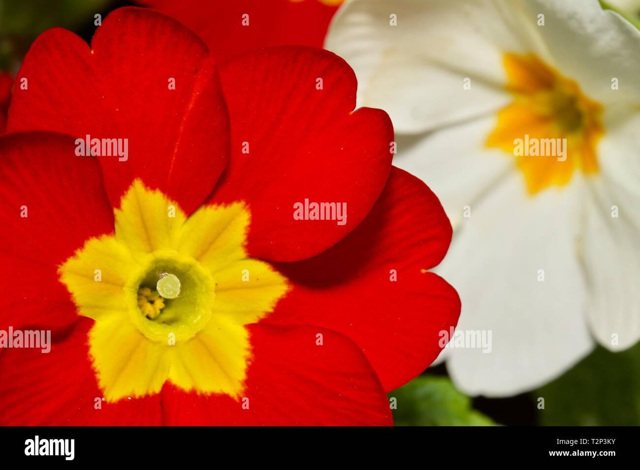 """Polyanthus 'Crescendo di colore rosso brillante """" Immagini Stock"""